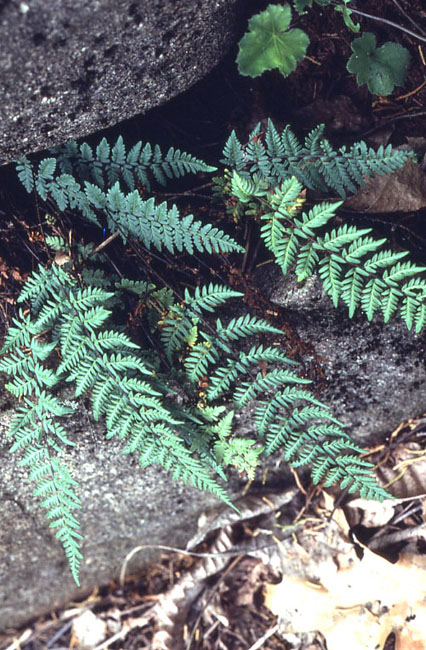 Cheilanthes alabamensis